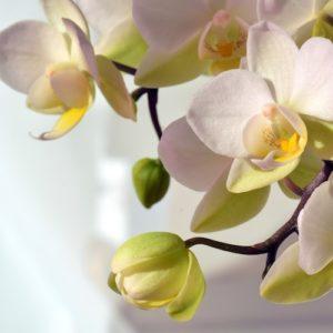 Hochzeitsblumen: Orchideen